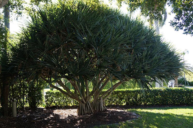 Plant Photo Gallery Tlc Lawn Naples Fl